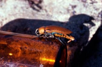 beetleonbottlebig